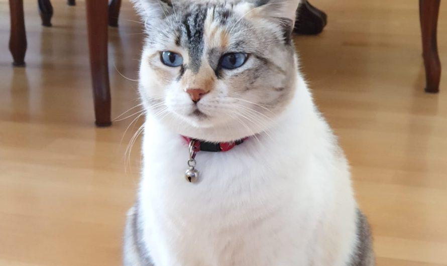 Se ha perdido esta gata anoche,  por favor  ayudar por redes sociales  lleva collar morado de brillos aviso tfno 626 706 030